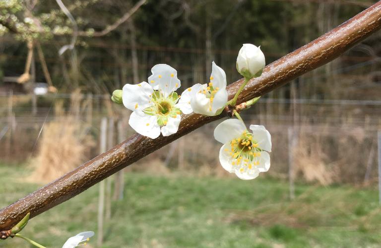 すもも 貴陽も開花しました。