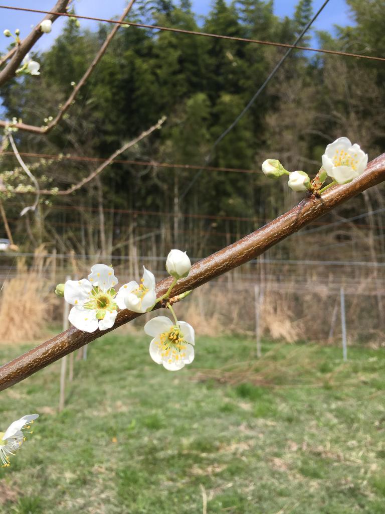 貴陽 開花